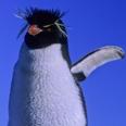 Photo: dd001630Rockhopper Penguin , Eudyptes chrysochome,  Island of the penguins, Atlantic, Argentina