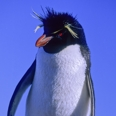 Photo: dd001631     Rockhopper Penguin , Eudyptes chrysochome,  Island of the penguins, Atlantic, Argentina