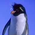 Photo: dd001631Rockhopper Penguin, Eudyptes chrysochome, Island of the penguins, Atlantic, Argentina