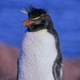 Photo: dd001632     Rockhopper Penguin , Eudyptes chrysochome,  Island of the penguins, Atlantic, Argentina