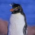 Photo: dd001632Rockhopper Penguin , Eudyptes chrysochome,  Island of the penguins, Atlantic, Argentina