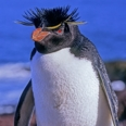 Photo: dd001634     Rockhopper Penguin , Eudyptes chrysochome,  Island of the penguins, Atlantic, Argentina