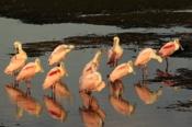 Photo: dd001613Roseate spoonbills, Platalea ajaja, Sanibel, Florida, USA