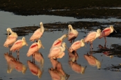 Photo: dd001614     Roseate spoonbills , Platalea ajaja,  Sanibel, Florida, USA