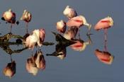 Photo: dd001618Roseate spoonbills, Platalea ajaja, Sanibel, Florida, USA