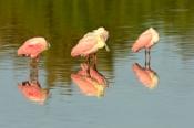 Photo: dd001714Roseate spoonbills, Platalea ajaja, Sanibel, Florida, USA