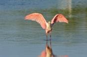 Photo: dd001955Roseate spoonbills, Platalea ajaja, Sanibel, Florida, USA