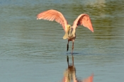 Photo: dd001956     Roseate spoonbills , Platalea ajaja,  Sanibel, Florida, USA
