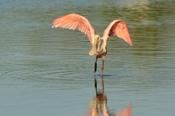 Photo: dd001956Roseate spoonbills, Platalea ajaja, Sanibel, Florida, USA
