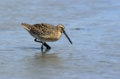 Photo: dd001661     Short-billed Dowitcher, Limnodromus griseus, Cap May, New Jersey, USA