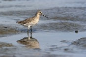 Photo: dd001662     Short-billed Dowitcher, Limnodromus griseus, Cap May, New Jersey, USA