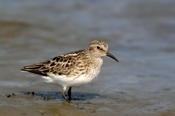 Photo: dd001663     Semipalmated sandpiper , Calidris pusilla,  Cap May, New Jersey, USA