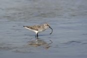 Photo: dd001664     Semipalmated sandpiper, Calidris pusilla, Cap May, New Jersey, USA