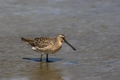 Photo: dd001665     Short-billed Dowitcher, Limnodromus griseus, Cap May, New Jersey, USA