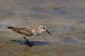 Photo: dd001666     Semipalmated sandpiper , Calidris pusilla,  Cap May, New Jersey, USA