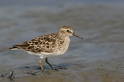Photo: dd001671     Semipalmated sandpiper, Calidris pusilla, Cap May, New Jersey, USA
