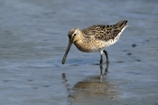 Photo: dd001672     Short-billed Dowitcher, Limnodromus griseus, Cap May, New Jersey, USA