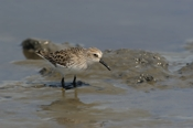 Photo: dd011020     Semipalmated sandpiper , Calidris pusilla,  Cap May, New Jersey, USA