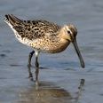 Photo: dd011021     Short-billed Dowitcher, Limnodromus griseus, Cap May, New Jersey, USA