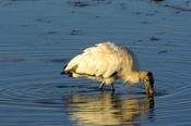 Photo: dd001961Wood Stork, Mycteria americana, Sanibel, Florida, USA