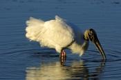 Photo: dd001962Wood Stork, Mycteria americana, Sanibel, Florida, USA