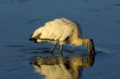 Photo: dd001963Wood Stork, Mycteria americana, Sanibel, Florida, USA