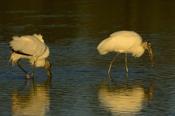 Photo: dd001966Wood Stork, Mycteria americana, Sanibel, Florida, USA