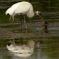 Photo: dd001967Wood Stork, Mycteria americana, Sanibel, Florida, USA
