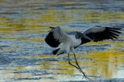 Photo: dd001973Wood Stork, Mycteria americana, Sanibel, Florida, USA