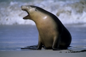 Photo: dd001700     Young Australian Sea Lion , Neophoca cinerea,  Seal Bay, Kangaroo Island, South Australia