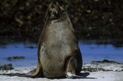 Photo: dd001706     Australian Sea Lion , Neophoca cinerea,  Seal Bay, Kangaroo Island, South Australia