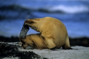 Photo: dd001718     Young Australian Sea Lion , Neophoca cinerea,  Seal Bay, Kangaroo Island, South Australia