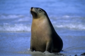 Photo: dd001721     Australian Sea Lion , Neophoca cinerea,  Seal Bay, Kangaroo Island, South Australia