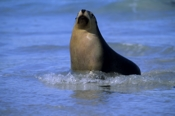 Photo: dd001722     Australian Sea Lion , Neophoca cinerea,  Seal Bay, Kangaroo Island, South Australia