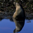 Photo: dd001728     Australian Sea Lion , Neophoca cinerea,  Seal Bay, Kangaroo Island, South Australia