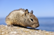 Photo: dd001206     California Ground Squirrel , Spermophilus beecheyi,  Monterey Peninsula, California, USA