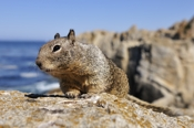 Photo: dd001207     California Ground Squirrel , Spermophilus beecheyi,  Monterey Peninsula, California, USA