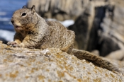 Photo: dd001213     California Ground Squirrel , Spermophilus beecheyi,  Monterey Peninsula, California, USA