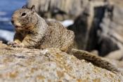 Photo: dd001213California Ground Squirrel, Spermophilus beecheyi, Monterey Peninsula, California, USA