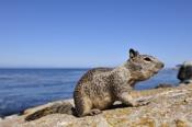 Photo: dd001214California Ground Squirrel, Spermophilus beecheyi, Monterey Peninsula, California, USA
