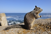 Photo: dd001222     California Ground Squirrel , Spermophilus beecheyi,  Monterey Peninsula, California, USA