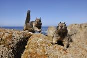 Photo: dd001223California Ground Squirrel, Spermophilus beecheyi, Monterey Peninsula, California, USA
