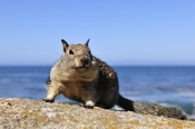 Photo: dd001225     California Ground Squirrel , Spermophilus beecheyi,  Monterey Peninsula, California, USA