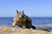 Photo: dd001225California Ground Squirrel, Spermophilus beecheyi, Monterey Peninsula, California, USA