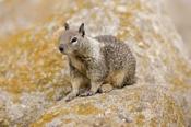 Photo: dd001343California Ground Squirrel, Spermophilus beecheyi, Monterey Peninsula, California, USA