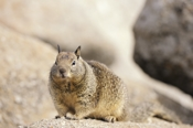 Photo: dd001348     California Ground Squirrel , Spermophilus beecheyi,  Monterey Peninsula, California, USA