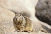 Photo: dd001348California Ground Squirrel, Spermophilus beecheyi, Monterey Peninsula, California, USA