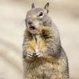 Photo: dd001381California Ground Squirrel, Spermophilus beecheyi, Monterey Peninsula, California, USA