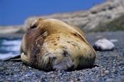 Photo: dd001744Southern Elephant Seal , Mirounga leonina,  Peninsula Valdes,  Atlantic, Patagonia, Argentina