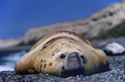 Photo: dd001746Southern Elephant Seal , Mirounga leonina,  Peninsula Valdes,  Atlantic, Patagonia, Argentina